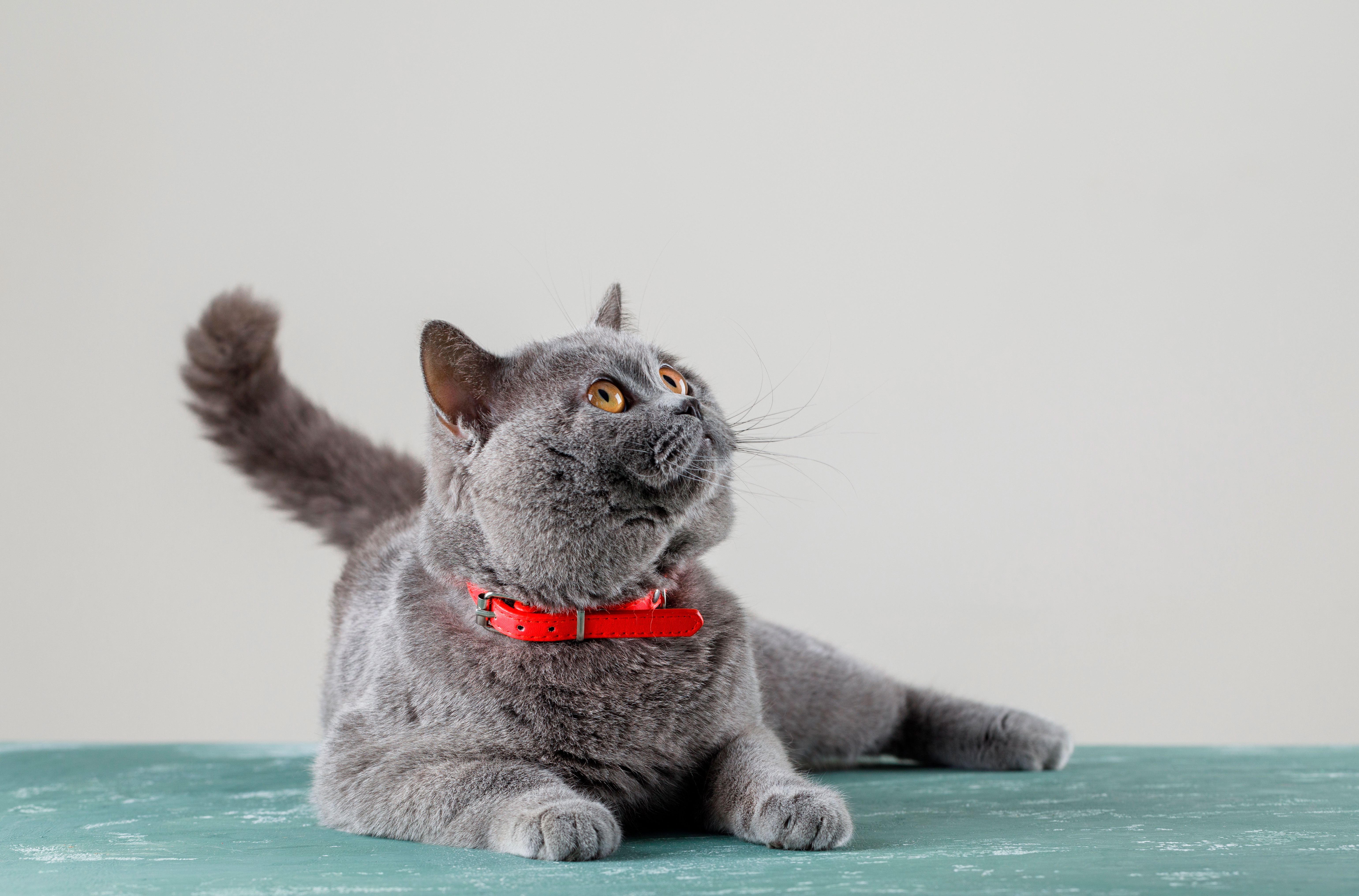 grey-cat-lying-and-looking-up-(1)